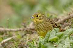 Yellowhammer (Female) (Emberiza citrinella) (PhasmatosOculus) Tags: march 2019 march2019 bird birds rivernene barnwellcountrypark barnwellpark barnwell country park northamptonshire wildlifeanimal wildlife animal animals wildlifeanimals matthewfarrugia matthew farrugia centricmalteser canon7dmkii canon 7d mkii eos7dmkii canoneos7dmkii eos canoneos eastanglia 7dmkii phasmatosoculus