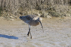 Curlew (hedgehoggarden1) Tags: curlew birds wildlife nature sonycybershot wader mud animal creature norfolk titchwell rspb eastanglia uk sony