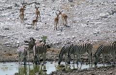 Impalas leaving, zebras drinking (sacipere) Tags: namibia etosha zebra impala waterhole