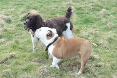 Benjy and Macy (billnbenj) Tags: benjy spaniel springerspaniel dog barrow cumbria