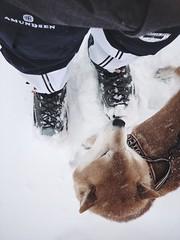 Spring Snow 2 (pjen) Tags: shibainu shibaken nihonken hiro dog shiba koira primitive breed spitz japanese finland 日本犬 柴犬 urajiro 10years winter spring snow ice