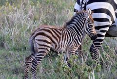 Plains Zebra (keitokelsea) Tags: africa animal nature naturephotography wildanimals lewawildlifeconservancy kenya lewahouse gamedrive zebra plainszebra baby babyplainszebra equusquagga