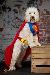Dolly the Super Doodle (twinnieE) Tags: dog superman doggy poochpix dogphotography dogphotographer dollythedoodleuk pet dogwearingsuperherocostume studio super hero costume model
