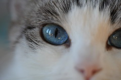 Biki blue eyes (Sam Photos - Sony full frame) Tags: chat chats cat cats yeux eyes eyelash human soul blue biki animal compagnie macro crop gato