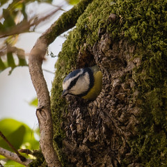 A Perfect Fit (PedroLanders) Tags: yelverton berealston devon bird bluetit nest
