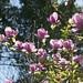 Au jardin, magnolia de Soulange (Magnolia Soulangeana) , Bosdarros, Béarn, Pyrénées Atlantiques, Aquitaine, France.