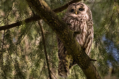 Barred Owl_1NG7043 (adventure_photography) Tags: vandusen vancouver barred owl dark forrest trees