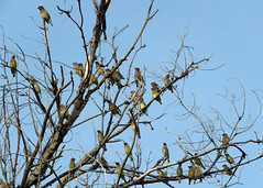 Cedar Waxwing Flock 1 (Kelly Preheim) Tags: cedar waxwings
