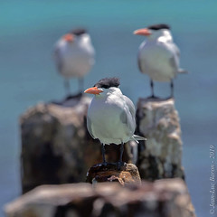 Royal Tern (Thalasseus maximus) (Jeluba) Tags: 2019 bahamas canon jeanlucbaron jeluba königsseeschwalbe royaltern sansalvadorisland sterneroyale thalasseusmaximus aves bird birdwatching nature oiseau ornithology wildlife square carré