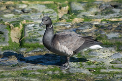 DSC_2295_Edit (Clive Webber) Tags: anatidae anseriformes anserinae belgium bird brantabernicla brentgoose ijzermonding nieuwpoort places westvlaanderen