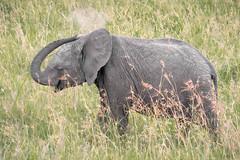 Baby Shower (helenehoffman) Tags: africa elephant conservationstatusvulnerable mammal loxodontaafricana kenya africanbushelephant maasaimaranationalreserve animal