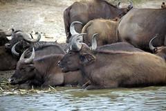 Bathing Buffalo (pbr42) Tags: africa uganda queenelizabethnationalpark nationalpark hdr water lake crater animal buffalo h2o nature