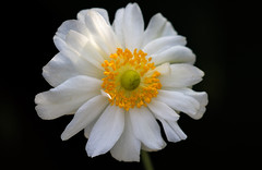 Joyous Flower Power (AnyMotion) Tags: japaneseanemone herbstanemone anemone×hybridawhirlwind blossom blüte sunlight sonnenlicht 2018 anymotion maincemetery hauptfriedhof frankfurt hessen germany floral flowers 7d2 canoneos7dmarkii colors colours farben white weiss yellow gelb autumn fall herbst automne otoño onblack ngc npc
