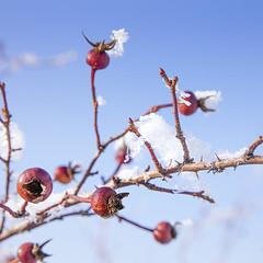 Rosehip (monorail_kz) Tags: winter january 2019 kainazar talgar almatyregion hills mountains alatau kazakhstan centralasia snow road sky cold briar rosehip plant