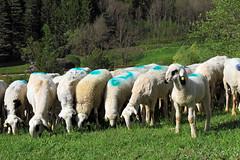 Quasi da tagliare e fare la lana (marvin 345) Tags: trentino pecore pecora marvin345 animali natura nature italia italy animalidomestici animalidimontagna valdifiemme cavalese