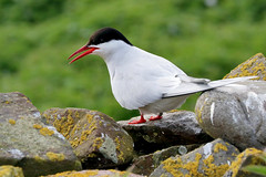 Arctic tern (robin denton) Tags: bird nature wildlife innerfarne farneislands northumberlandcoast northumberland seabird nationaltrust sternaparadisaea