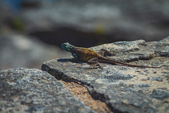 Atop Table Mountain (EpicIvo) Tags: ifttt 500px mountain cliff rock rocky extreme terrain outdoors summer stone mountains table lizard animal reptile climb