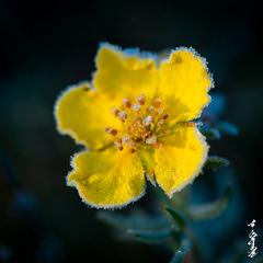 Cold autumn morning... (N.Batkhurel) Tags: season autumn flower flora cold ice closeup mongolia macro morning ngc nikon nikkor nikond800 nikkor105mm 105mm
