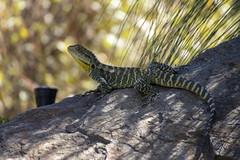 Gippsland Water Dragon, National Botanical Gardens, Canberra, AU (Jim 03) Tags: australian national botanic gardens canberra australia environment native flora dragon water gippsland jim03 jimhoffman jhoffman jim wwwjimahoffmancom wwwflickrcomphotosjhoffman2013 lizard