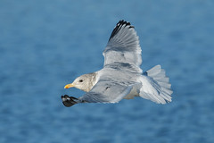 Iceland Gull (Thayer's) (Ryan Griffiths) Tags: ontario canada winter gull iceland thayers thorold wellandcanal