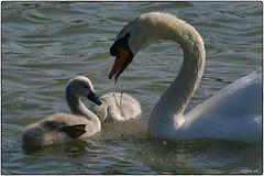 Swan (fotokunst_kunstfoto) Tags: idyll weiher teich wasservögel binsen schwan schwäne blässhuhn biotop tümpel swan water ufer rohrkolben fauna see ammersee amper fluss flüsse nest gelege brut brutpflege nestbau baumaterial lebensraum