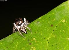 Cat Tien Salticidae (Phil Arachno) Tags: vietnam salticidae spider arachnida arthropoda spinne springspinne