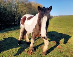 Horse Gone Wonky (R~P~M) Tags: horse equine field farm waddesdon bucks buckinghamshire england uk unitedkingdom greatbritain
