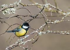 Charbonniere (ea_photographie) Tags: bird bokeh nature loiret france fr oiseau jardin jaune