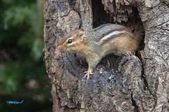 SunShootyell-58130 (dialaspc) Tags: yellow animal mammal chipmonk nc