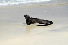 Anglų lietuvių žodynas. Žodis marine iguana reiškia jūrų iguana lietuviškai.