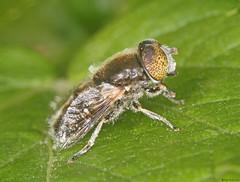 Large Spotty-eyed Hoverfly (timz501) Tags: eristalinusaeneus hoverfly jersey