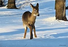 I'm Over Here, Mom (acadia_breeze4130) Tags: pennsylvania deer whitetaildeer whitetail young winter snow outside backyardwildlife nature naturephotography wildlife sx60hs karencarlson