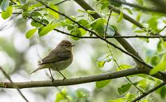 Zilpzalp (Phylloscopus collybita) (kalakeli) Tags: weidenlaubsänger zilpzalp phylloscopuscollybita birds vögel rieselfeldermünster april 2018 natureinfocusgroup
