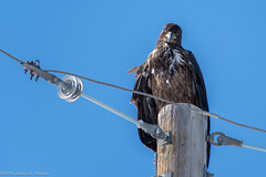 What are YOU looking at? (AphidmanCalgary) Tags: calgary alberta canada ca eagle bird