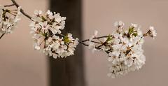 Cherry Blossoms 2019-03 06 Panorama (Jim Dollar) Tags: jimdollar cherryblossoms mecklenburgcounty charlotte northcarolina nc panorama blooms blossoms canon5div
