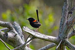 Red-backed Fairy-wren male (Uhlenhorst) Tags: 2015 australia australien animals tiere birds vögel travel reisen