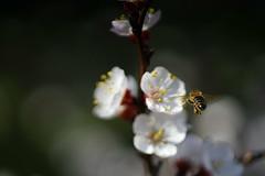 (mirkakonarikova) Tags: vintage manual a7 spring nikkor 105mm bee