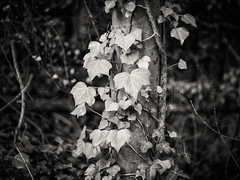 20190302-0193-Edit (www.cjo.info) Tags: 1840 1840s 19thcentury allsaintscemeterynunhead bw england europe europeanunion london m43 magnificent7 magnificentseven magnificentsevengardencemeteries microfourthirds nikcollection nunhead olympus olympuspenfgzuikoautos40mmf14 olympuspenf penfmount silverefexpro silverefexpro2 southwark unitedkingdom westerneurope blackwhite blackandwhite blur bokeh cemetery climbingplant decay digital flora focusblur foliage gravegraveyard ivy leaf manualfocus monochrome overgrown plant shallowdepthoffield tree trunk wooded
