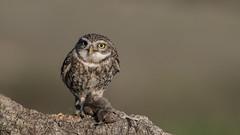 Little owl / Steinkauz (www.natureinimages.com) Tags: calera steinkauz little owl maus mouse bird