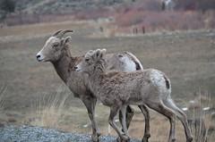 "Baker County Tourism – www.travelbakercounty.com 51434 (TravelBakerCounty) Tags: oregon ""easternoregon"" ""bakercountytourism"" travelbakercounty ""bakercounty"" ""scenicdrive"" roadtrip wildlife ""watchablewildlife"" ""burntrivercanyon"" travel tourism backroads scenicdrives sheep ""bighornsheep"""