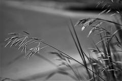 more grass in greyscale (EllaH52) Tags: monochrome blackwhite greyscale grass summer bokeh macro simplicity