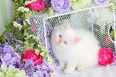 Flame Point Himalayan (dollfacepersiankittens.com) Tags: himalayan flame point color persian kittens for sale doll face catsofinstagram catpictures kittensofinstagram kittenpictures
