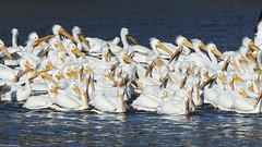 White Pelicans - Mar-17-2019 (39-1) (JPatR) Tags: 2019 foxrivervalley illinois kanecounty march whitepelican bird nature wildlife winter