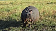 Botswana Angry Hungry Hippo in Chobe National Park (h0n3yb33z) Tags: botswana animals wildlife chobenationalpark hippo hippopotamus africa