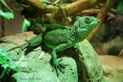 Basilisco -  Basiliscus plumifrons (francescociccotti1) Tags: aqcuario rettili zoo cattolica rimini emiliaromagna basilisco