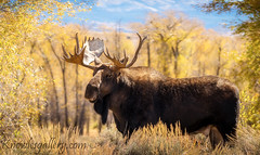 Bull moose Teton Valley in the Fall (The Knowles Gallery) Tags: autumn tetons wyoming animal antlers brown closeup fall mammal moose wildlife yellow