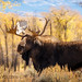 Bull moose Teton Valley in the Fall