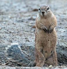 cape groundsquirrel Blijdorp 094A1319 (j.a.kok) Tags: animal blijdorp mammal dier squirrel groundsquirre capegroundsquirrel africa afrika eekhoorn grondeekhoorn kaaspegrondeekhoorn