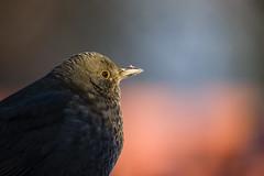 20190120 Blackbird (andreasezelius) Tags: blackbird bird winter black portrait up close bokeh 60600 600 600mm f63 sony a7iii mc11