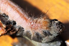 Intruder Alert (Barbiehg) Tags: grub moth caterpillar canoneos6d macro suburbangarden melbourne backyard slinky